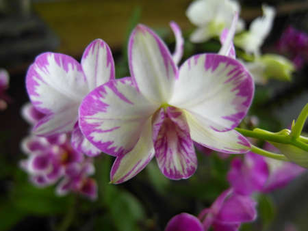 Orchid plants are widely distributed throughout the world Stock Photo - 113033526