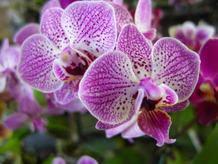 Orchid plants are widely distributed throughout the world Stok Fotoğraf