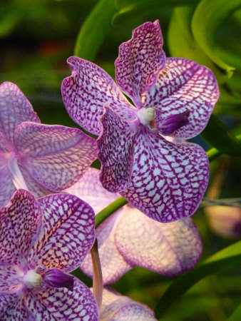 Orchid plants are widely distributed throughout the world Stock Photo - 113034803