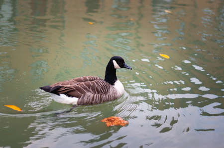 Canadian goose swimming in a pond photo