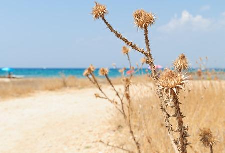 Dry wild cardoons in  Apulia. Typical mediterranean summer background.