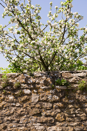 Tree in blossom behind stone wall in english countryside