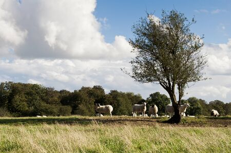 Farm with sheep grazing in british countryside 免版税图像