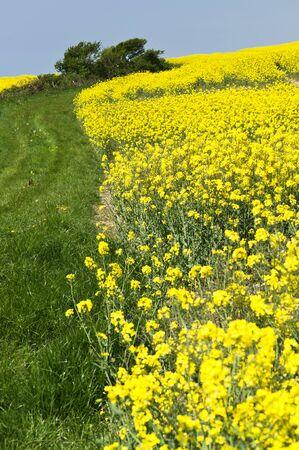 Rapeseed field in bloom