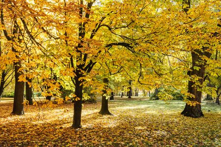 Tree with orange leaves during fall season in Lazienki park Warsaw 免版税图像