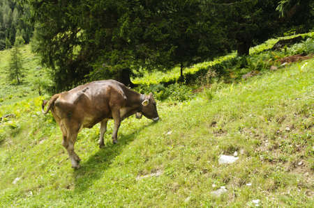 Brown cow in a pasture in the Italian Alps Stock Photo - 12638619