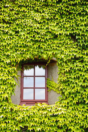 View of a closed window and of a wall covered with ivy photo