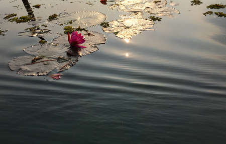reflect: Lotus flower in water with reflect of sunshine.