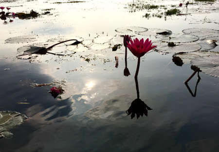 Lotus flower in water with reflect of sunshine.