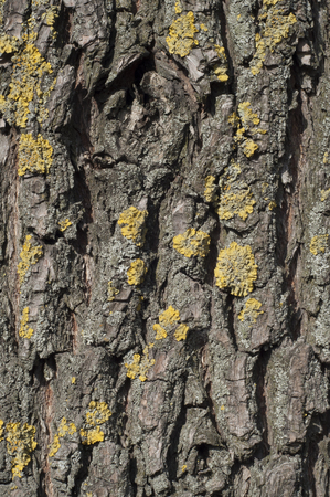 tree vertical: Background bark of an old tree. Texture bark of an old tree with lichen. Moss and lichen on bark of an old tree. Vertical shot.