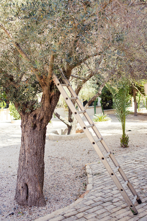 tree vertical: Picking olives in the garden with metal stairs near a tree. Vertical photo