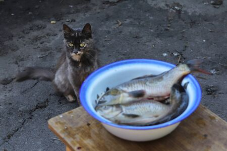 The cat is looking directly into the lens. Peeled fish in a metal bowl. Fishing. Good fish catch.