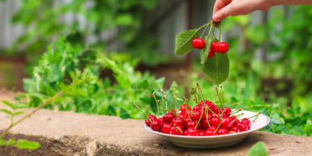 cherries harvest, ripe and juicy fruits. top copy space. food background
