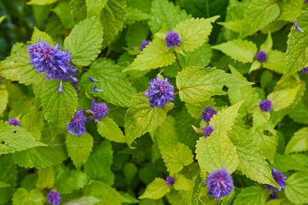 mountain flower mint