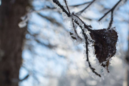 glint: winter branches of trees in hoarfrost glint in the sun. The fine winter mountains landscape. Sunny day. the dried-up leaf in hoarfrost