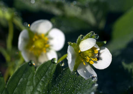 pismire: strawberry flowers with dew drops
