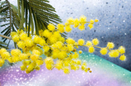 bouquet of mimosa on particolored background photo