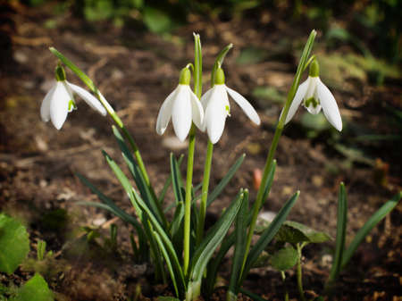 appeared: The first snowdrops appeared from under the snow