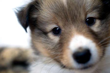 sheltie: little puppy Sheltie