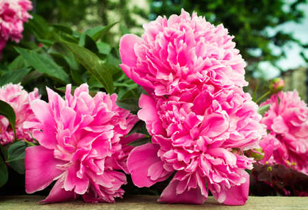 pink peonies are outdoors
