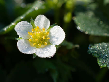 strawberry flower with dew drops