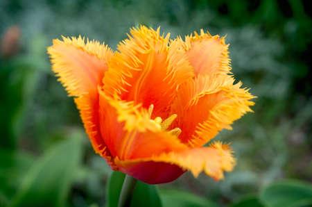 fringed  tulips 'Lambada'