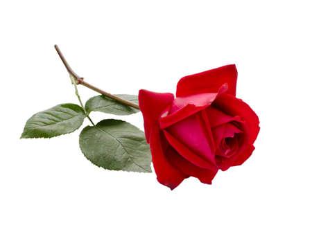 Single Red Rose isolated on white background 版權商用圖片