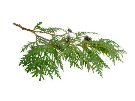 노송 나무 분기 흰색 배경에 고립