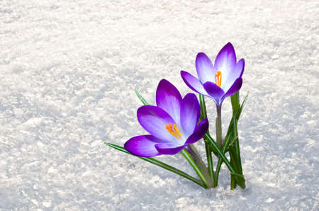 First blue crocus flowers, spring saffron in fluffy snow 免版税图像