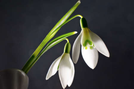 galanthus: The first snowdrops Galanthus are on black background Stock Photo