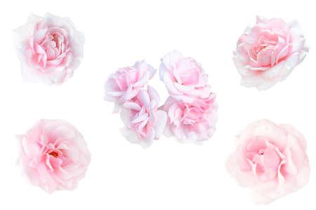 핑크 장미의 콜라주 흰색 배경에 고립