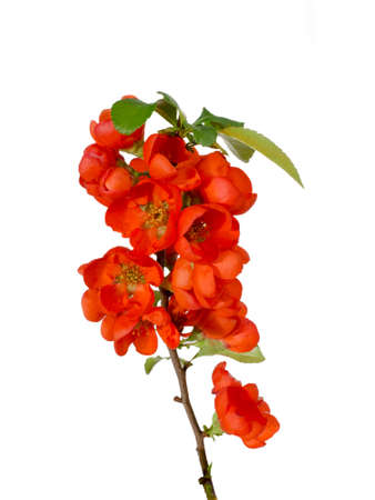 Blossoming quince branch isolated on a white background photo