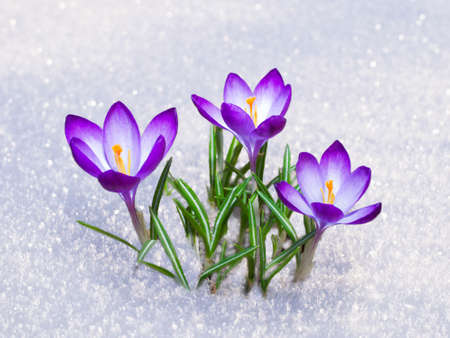 First blue crocus flowers, spring saffron in fluffy snow 写真素材