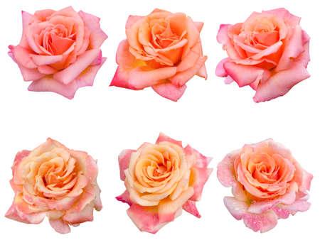 여섯 핑크 장미의 콜라주