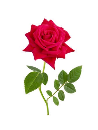 Bright  Red rose isolated on  white background.