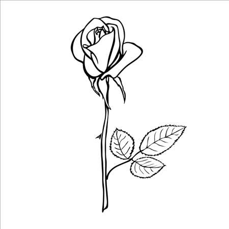 rose flowers: Rose sketch. Black outline on white background. Vector illustration.