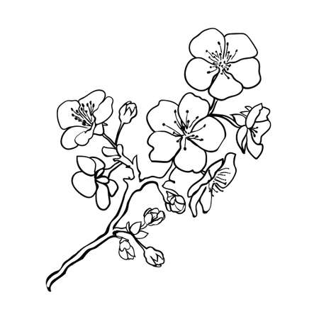 Sketch. Twig sakura blossoms . Vector illustration Vettoriali