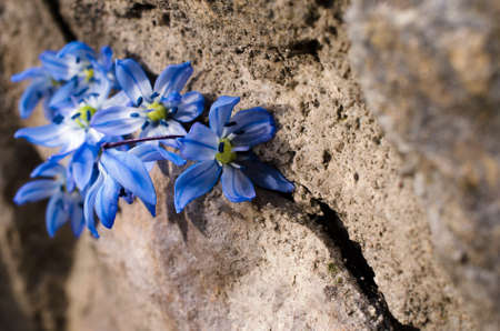 crevice: first bluebell flowers are in the crevice of a large stone Stock Photo