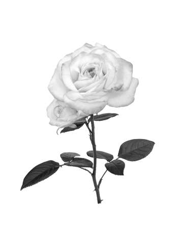 black and white flowers: Delicate uncolored rose Stock Photo