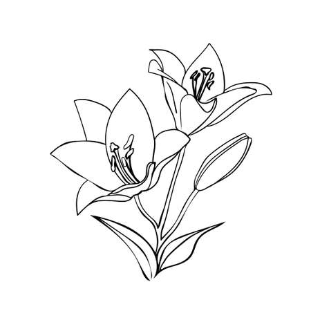 white lily: Lily sketch. Black outline on white background. Vector illustration.
