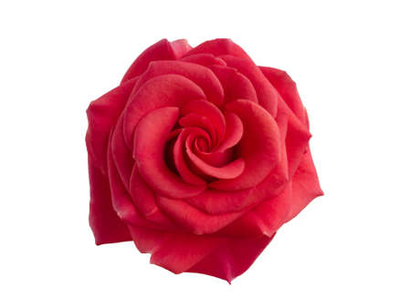 Red rose isolated on a white background 版權商用圖片