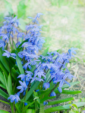 bluebell: first bluebell flowers blooming in the garden Stock Photo
