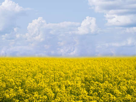flowering field: flowering field of colza outdoors  in spring
