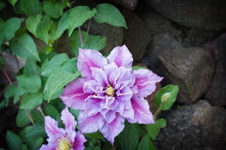 美しいピンクのクレマチスのクローズ アップ屋外。クレマチス品種 'Piilu'