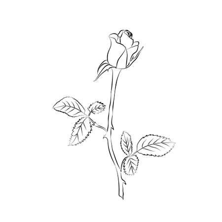 stem: Rose croquis. Contour noir sur fond blanc. Vector illustration.