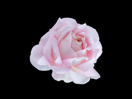 pedicel: beautiful pink rose isolated on  white background