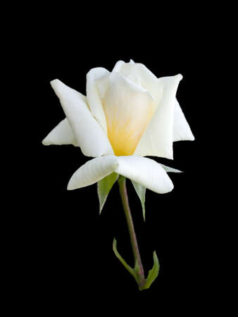 pedicel: beautiful white rose isolated on  white background Stock Photo