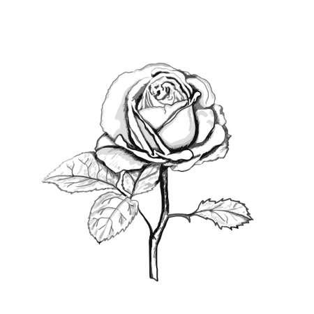 Rose sketch. Grey outline on white background. Vector illustration.