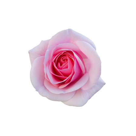 Pink rose isolated on  a white background.