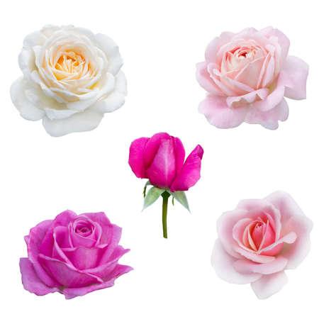 5 핑크 장미의 콜라주 흰색 배경에 고립